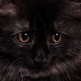 Black kitten by Paul Drajem - Animals - Cats Portraits ( cats, portraits, animals, kittens, furry,  )