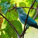 Sanhaçu-da-amazônia (Blue-gray Tanager)