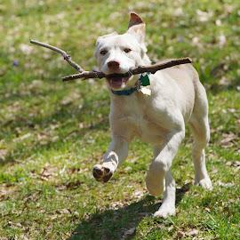 Sadie and Stick running by Jack Nevitt - Animals - Dogs Playing ( running, shelter, stick, lab, dog, mix )