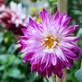 Dalia by Sanjib Laha - Flowers Single Flower
