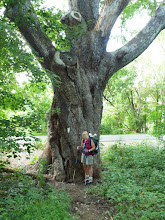 Photo: Dover Oak - largest Oak on the AT
