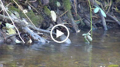 Video: The American Dipper is North America's only aquatic songbird and is an infrequent visitor to the Little Campbell River. This is only the second time we know of that it has been seen in the Little Campbell River. The first time was a few years ago near this spot: http://www.allaboutbirds.org/guide/american_dipper/id