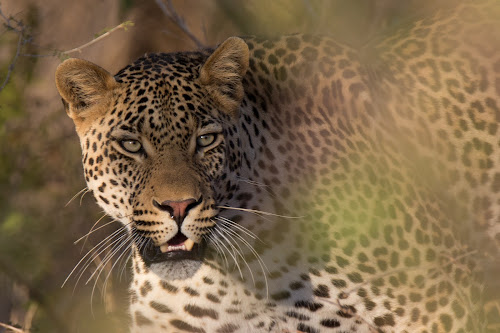 Whiskers by Dawie Nolte - Animals Lions, Tigers & Big Cats ( the look, whiskers, leopard face, leopard, eyes,  )
