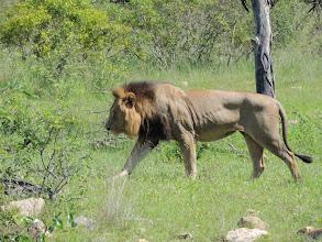 Photo: А теперь львы куда-то направились