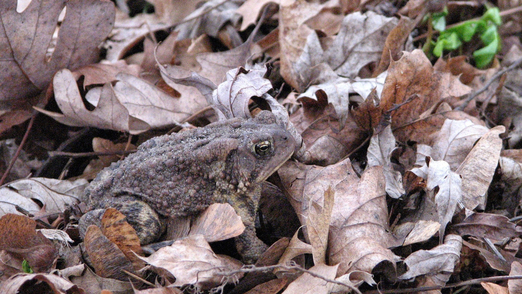 Photo: Great Camouflage, Mr Toad!