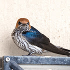 Lesser-striped swallow