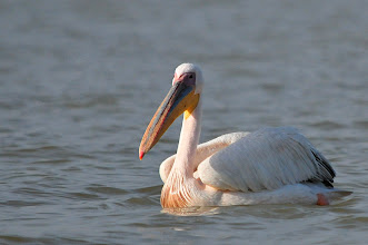 Photo: Bahar Dar - Lake Tana - Pelican