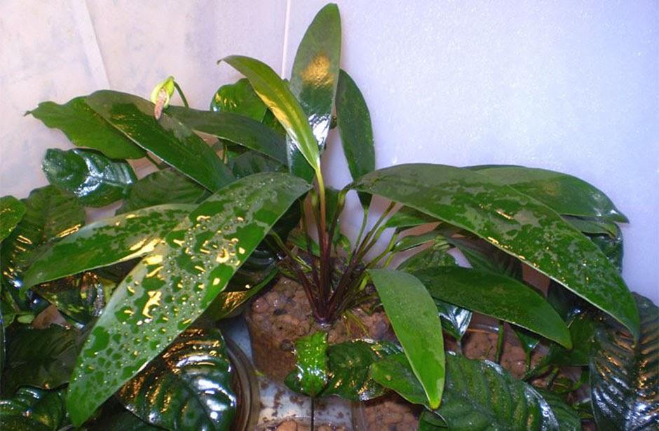 Анубиас Бартера узколистный (Anubias barteri var. angustifolia)