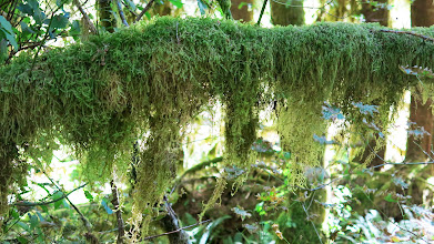 Photo: Hoh Rainforest