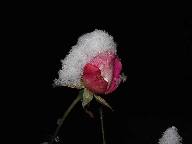The last rose di alegio89