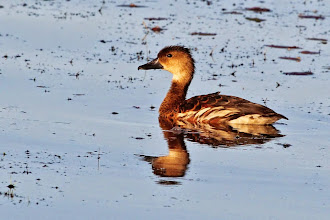 Photo: Wandering Whistling-Duck