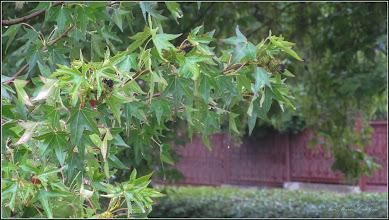 Photo: Arbore de gumă (Liquidambar orientalis) - din Turda, de pe Str. Constructorilor, spatiu verde - 2018.07.08