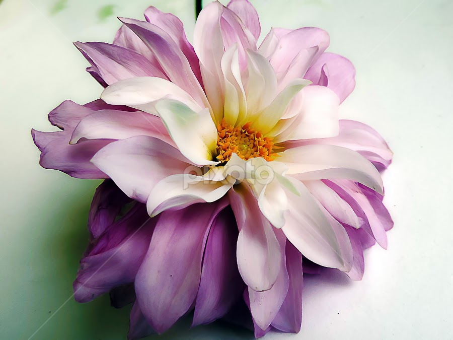 purple dahlia by LADOCKi Elvira - Flowers Single Flower ( nature, flowers, garden )