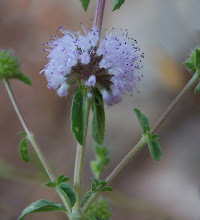 Photo: Mentha pullegium