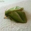 Lappet Moth (♂)
