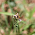 Common Grass Dart