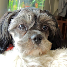 Lovin' that little face. by Carolyn Kernan - Animals - Dogs Puppies (  )