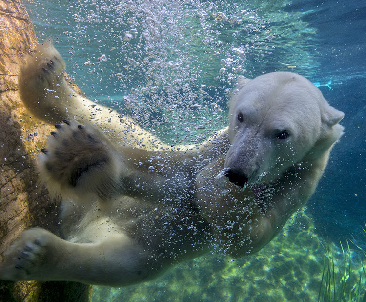 A polar bear swimming underwater in the Conrad Prebys Polar Bear Plunge area of the San Diego Zoo.