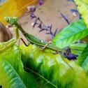 Indian Spotted praying mantis