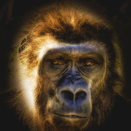 Great Ape by Dave Walters - Animals Other Mammals ( nature, ape, jacksonville, zoo, portrait, colors )