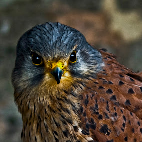 Common Kestrel (Falco tinnunculus) by Ian Flear - Animals Birds (  )