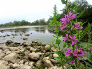 Photo: Purple flowers by a rocky beach at the river of Eastwood Park of Five Rivers Metroparks in Dayton, Ohio.