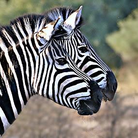Twins' Portrait by Pieter J de Villiers - Animals Other ( mammals, limpopo, mapungubwe national park, animals, other, south africa, zebra, portrait,  )