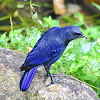 Blue Whistling Thrush (कल्चौडे)