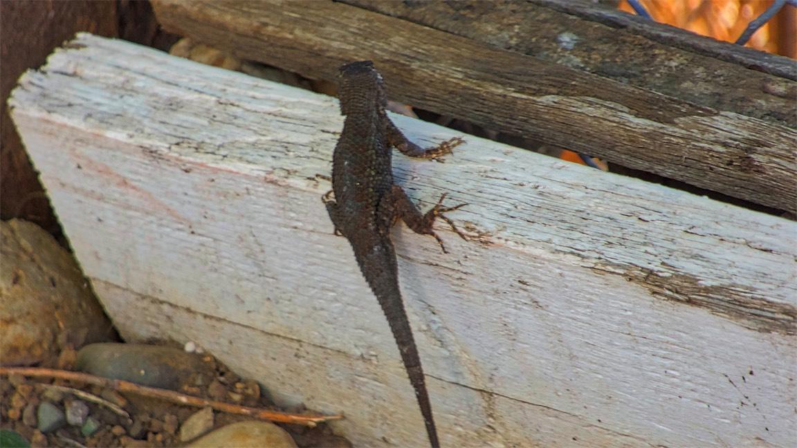 8p Lizard.jpg