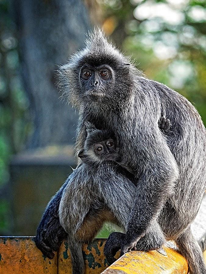 Silvered Leaf Monkeys at Bukit Melawati by Wira Wisnoe - Animals Other Mammals