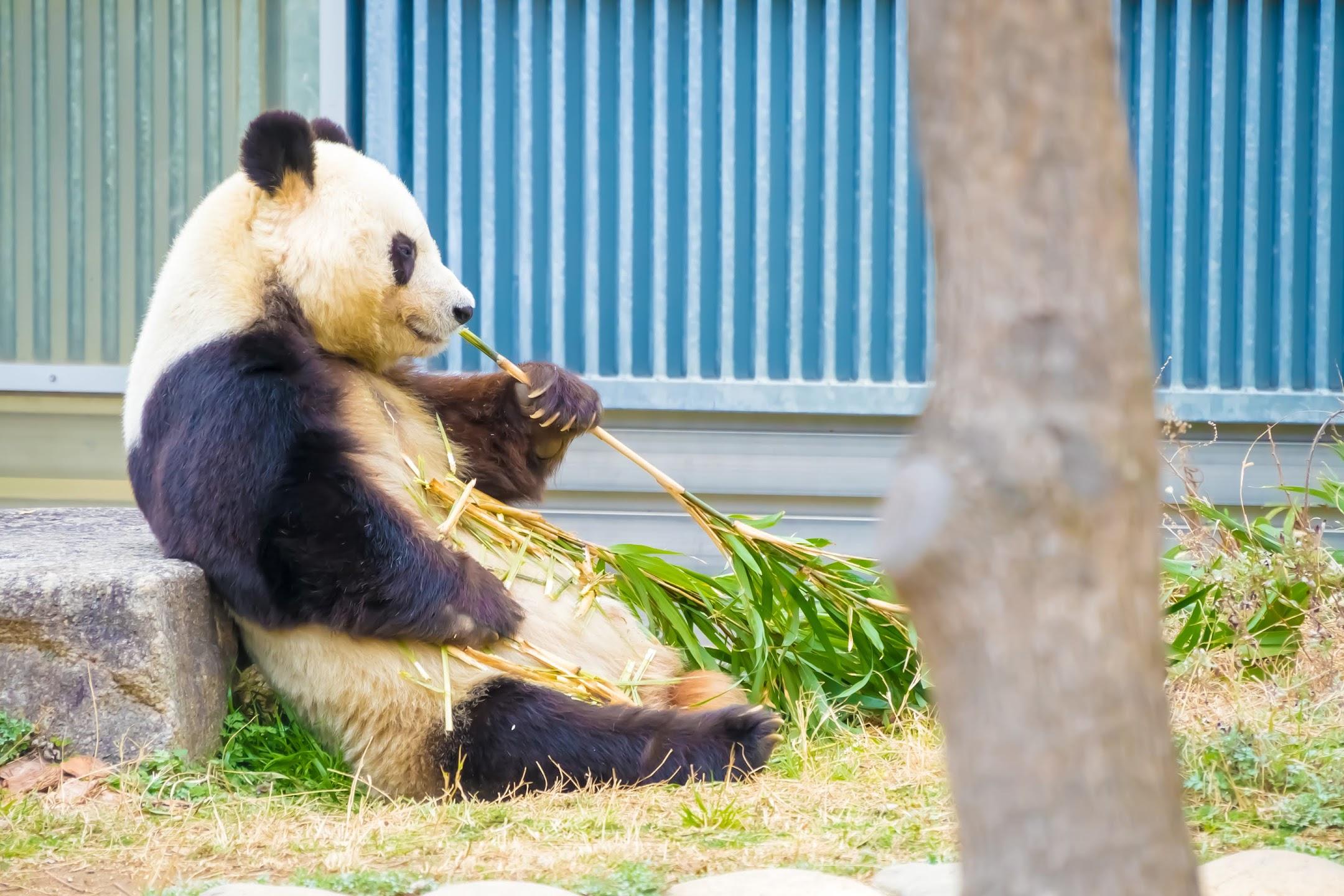 Kobe Oji Zoo giant panda3