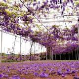 紫藤咖啡園