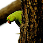 Rose-ringed parakeet- Female