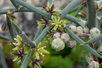 Photo: Asparagus horridus