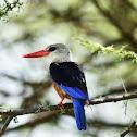 Kingfisher - Grey-headed