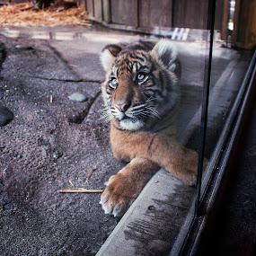 Captivity by Stephanie Burke - Animals Lions, Tigers & Big Cats ( cage, cats, zoo, animals, 70d, captivity, wild, tigers, wildlife, canon )