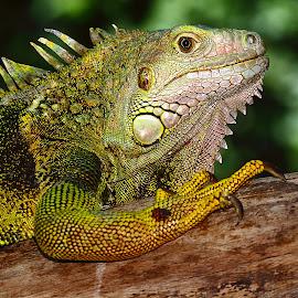 Green iguana by Gérard CHATENET - Animals Reptiles