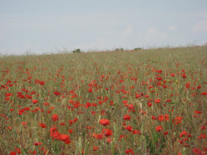 Photo: Poppies on the road to Tordesillas