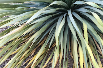 Photo: Life Springs - An agave plant keeps sending up fronds in a cluster, green springing forth from the center as the advance fronds wither in the desert heat.  Tucson, Arizona, with iPhone 6 Plus.