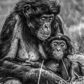 mum & baby by Garry Chisholm - Black & White Animals ( bonobo, primate, nature, ape, garry chisholm )