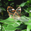 Glasswing Anette Butterfly