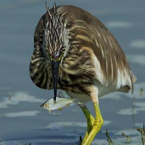 Fish by Kishan Meena - Animals Birds ( water, nature, fish, heron )