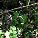 Fairy Slipper Orchid