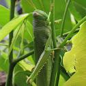 Green citrus locust