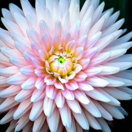Pink Dalia  by Darren Sutherland - Flowers Single Flower