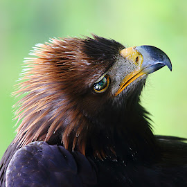 Eagle head by Gérard CHATENET - Animals Birds