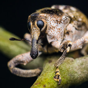 Elephant Weevil by Maskun Ramli - Animals Insects & Spiders