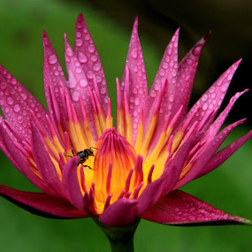 by Zulfikar Achmad - Flowers Single Flower