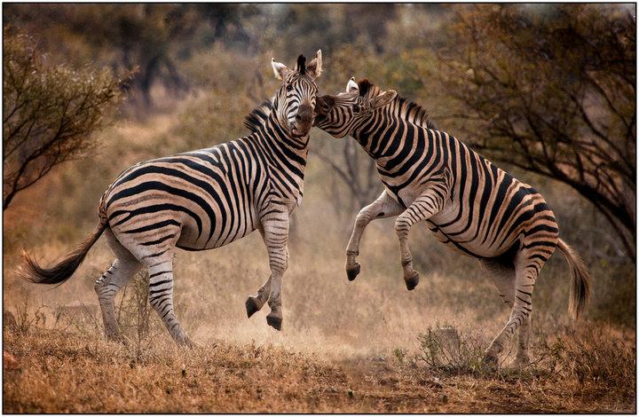 Love Bites by Rick Venter - Animals Other Mammals ( bite, zebra, africa )