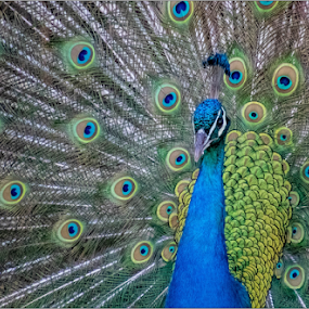 Peacock by Hannes Kruger - Animals Birds ( green, blue, feathers, bird, peacock )